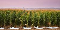 ААА переглянуло прогноз урожаю та баланси сільськогосподарьских культур в Україні