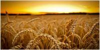 Україна і світ - ціни на зернові та олійні: огляд тижня, 25.11.2016